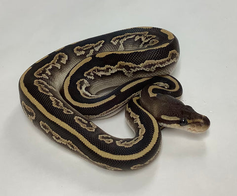Black Pastel Mojave Ball Python - Female #2020F01
