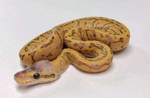 Dragonfly Yellowbelly Ball Python - Female #2018F01 - BHB Reptiles