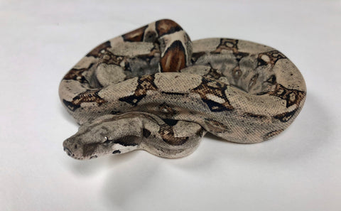 Pastel Possible Jungle Colombian Boa Constrictor - BHB Reptiles