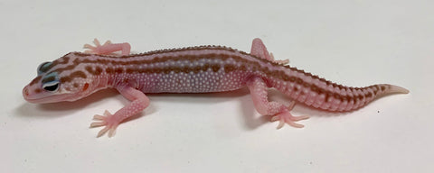 Albino Tremper Super Snow Eclipse(Super Raptor) Leopard Gecko-Male - #TB-HH-O11-60919-1