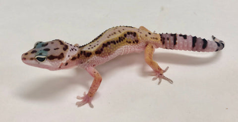 Stripe Mack Snow Pos Het Eclipse Leopard Gecko -Male#TB-G8-60719-1