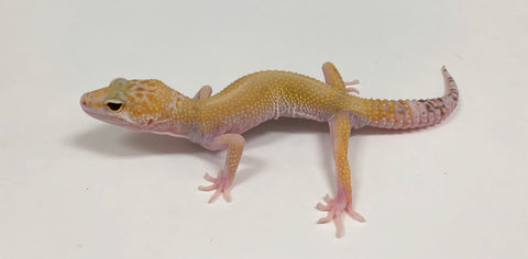 Sunglow Tremper Albino Marble Eye Leopard Gecko -Male #TB-G-P2-60919-1