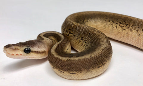 Black Pewter Chocolate Pinstripe Cypress Ball Python - Female #2018F01 - BHB Reptiles