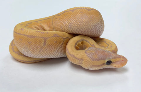 Banana Fire Pinstripe Ball Python - Female #2020F01