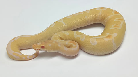 Albino Clown Ball Python- Female #2020F01