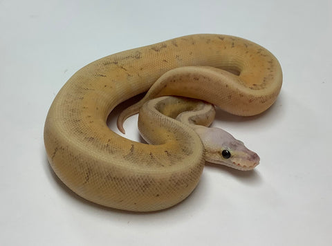 Superblast X-Treme Ball Python - Female #2020F01