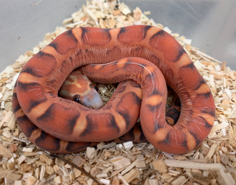 Scaleless Hypomelanistic Bloodred Cornsnake- #2019M01