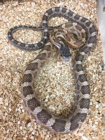 Het Scaleless Texas Ratsnake & Possible Het Leucistic