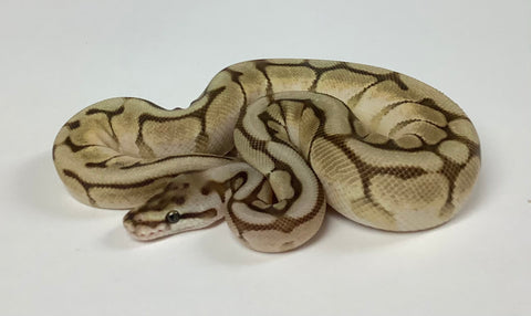 Lesser Woma Cypress Ball Python Male - #2020M01