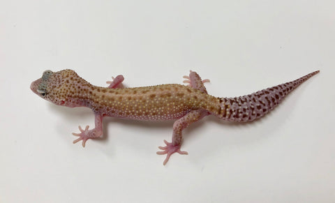 Patternless Stripe Mack Snow Tremper Eclipse Leopard Gecko (TSF)-#V-G8-103117-1 - BHB Reptiles