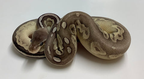 Pewter Mojave Ball Python - Male #2020M01