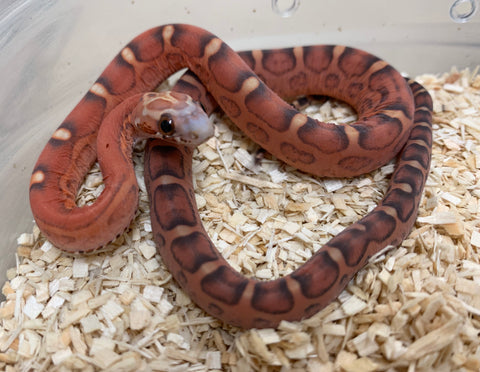 Scaleless Hypomelanistic Bloodred Cornsnake- #2019F03