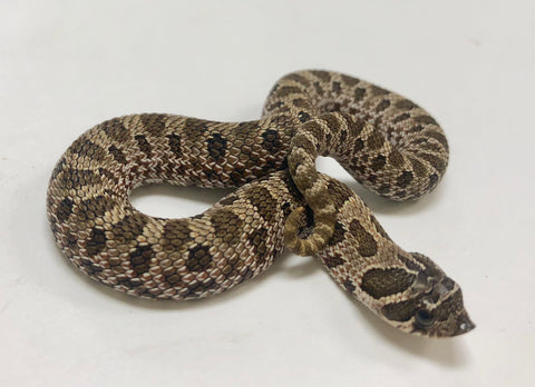 Possible Het Axanthic Western Hognose - BHB Reptiles