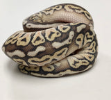 Pastel Russo Hidden Gene Woma Ball Python - Male #2020M04