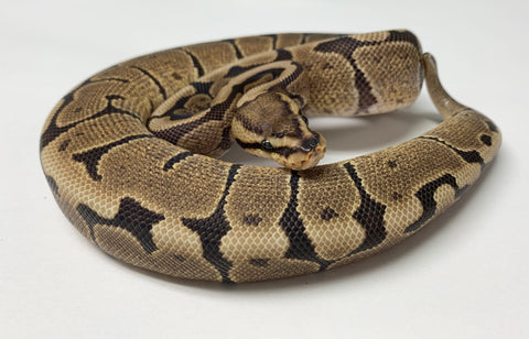 Woma Ball Python - Female With Wobble