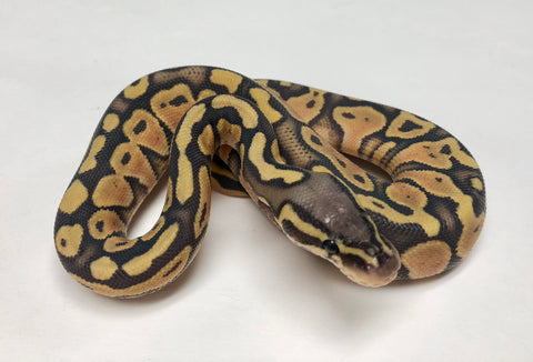 Pastel Ghost Ball Python - Female #2018F03 - BHB Reptiles