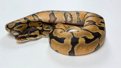 Enchi YellowBelly Ball Python- Female - #2020F01