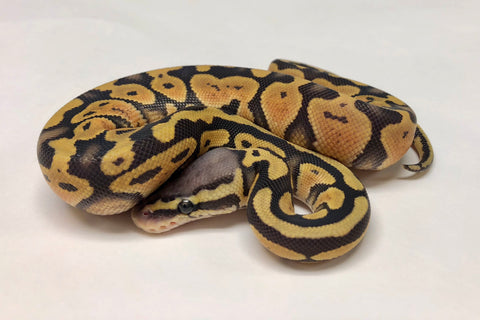 Pastel Ghost Ball Python - Female #2018F02 - BHB Reptiles