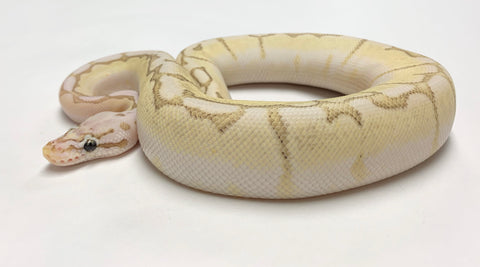 Pastel Bamboo Spider Ball Python Male - #2019M01