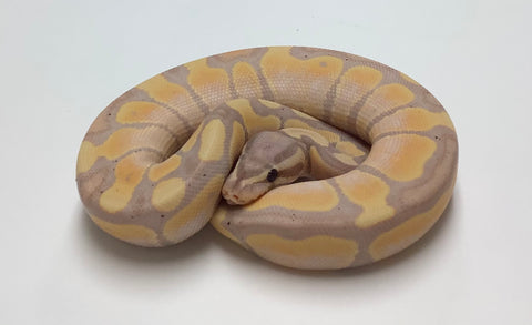 Banana Spider X-Treme Gene Ball Python - Male #2020M06