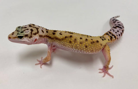 Eclipse Possible Het Tremper Leopard Gecko -(TSF) #TA-N-R8-70318-1