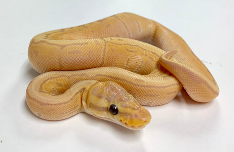 Banana Lemonblast Ball Python- Female #2019F01