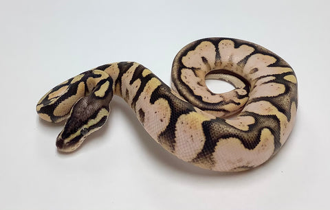 Pastel Sugar Ball Python- Male #2020M01