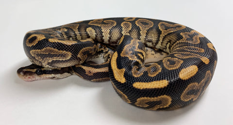 Black Pastel Yellowbelly Ball Python  - Female #2019F01