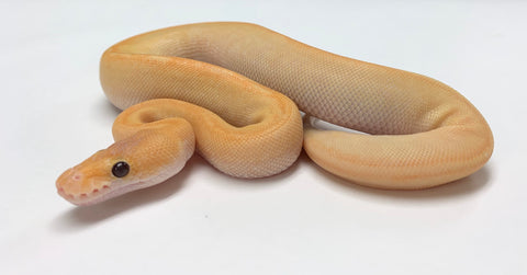 Banana Champagne Ball Python - Female #2020F01