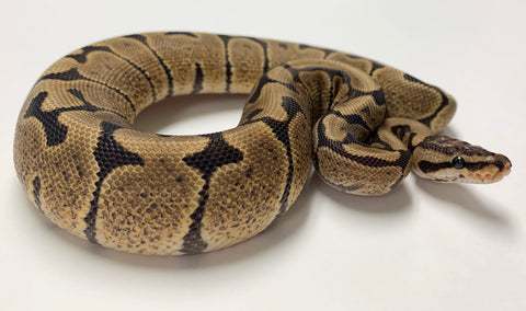 Woma Paint Ball Python - Male With Kink