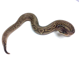 Pewter YellowBelly Ball Python - Male - #20162RM1