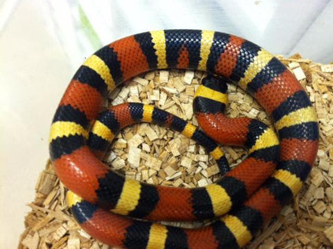 Milk Snakes For Sale - BHB Reptiles
