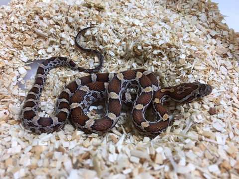 Cornsnake 66% Possible Het Scaleless - BHB Reptiles