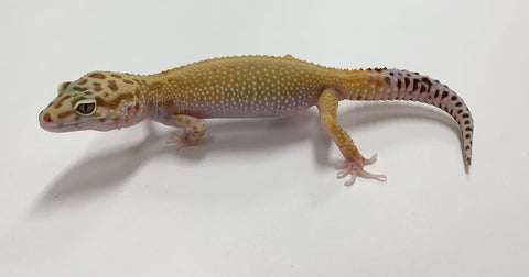 2019 Raptor Leopard Gecko - Females