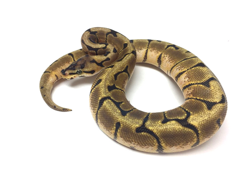 Stinger Bee Ball Python - Male #2016M02 - BHB Reptiles