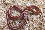 Ultramel Motley/ Striped Cornsnakes