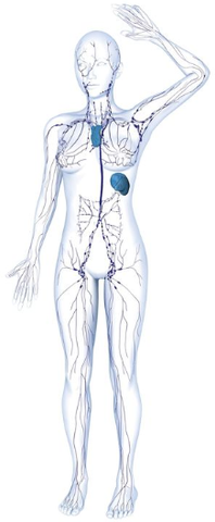 Diagram of the body highlighting the lymphatic system