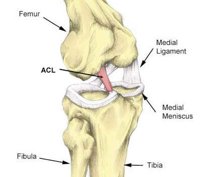 Skeletal diagram of knee triad
