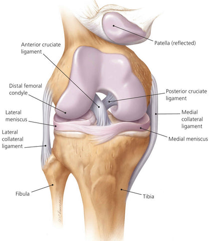 cruciate ligament anatomy
