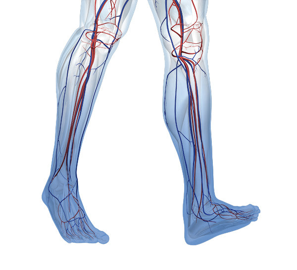 Vasculature in chronic venous insufficiency