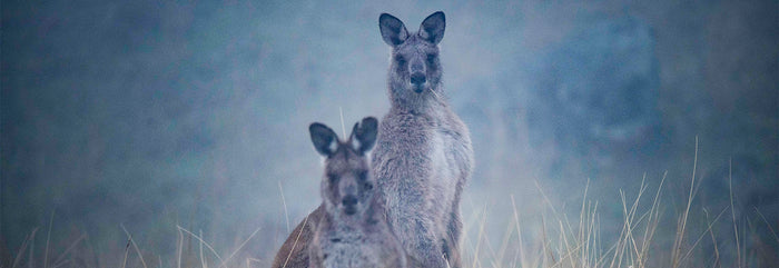 Two kangaroos. Photography by Eamon Waddington.