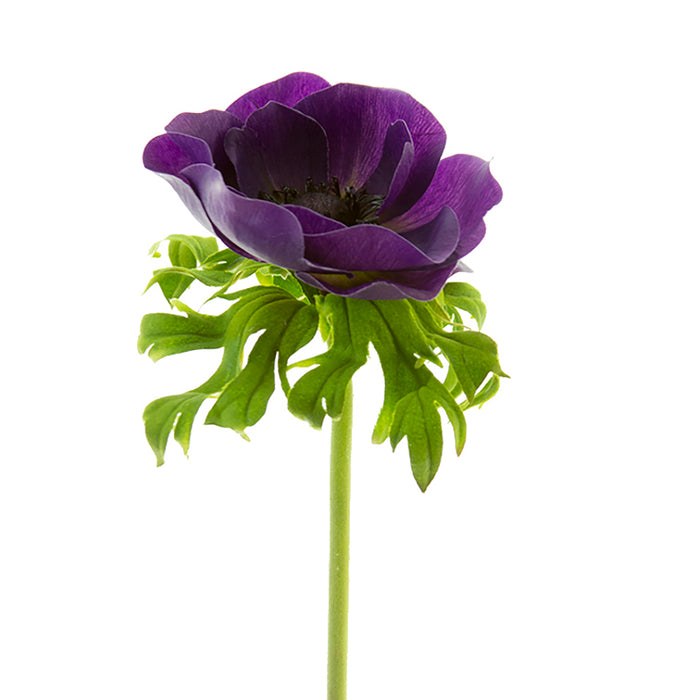 22 in Poppy Anemone Stem