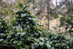 Vietnam Arabica Coffee Beans Farm