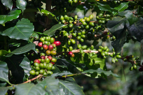 Vietnam Arabica Coffee Cherries Farm