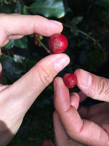 Vietnam Arabica Coffee Cherry