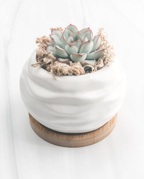Potted Rosebud Succulent Plant