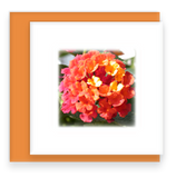 Morning Song Garden Party Blooms Mini Greeting Cards Lantana Assorted Flowers