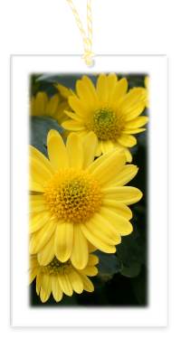 Yellow Mums Garden Party Blooms Gift Tag with blank backside and Bakers Twine