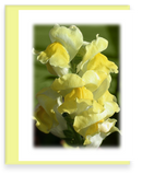 Rainbow Garden, Garden Blooms Greeting Cards, Assorted, Snapdragons