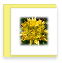 Yellow Sedum Bright Garden Party Blooms Mini Greeting Cards
